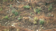 Stock Video Footage of Deer Walking On Side Of Canyon