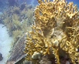Hawksbill sea turtle feeding on soft coral SD Footage