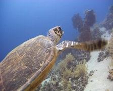 Hawksbill turtle - rear side view Stock Footage