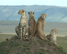 Cheetahs resting on an anthill Stock Footage