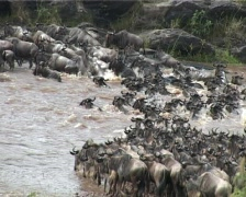 Wildebeest crossing from a rocky area Stock Footage