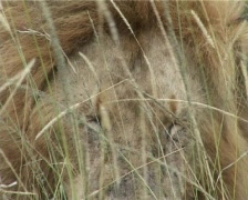 A lion's head in the grass Stock Footage