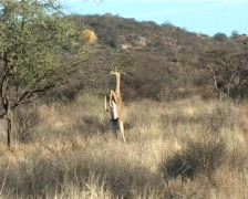 A gazelle feeds while standing(GERENUK) Stock Footage