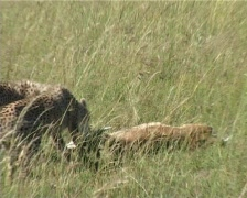 Cheetah cubs trying to hide kill from vultures Stock Footage