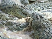 Stock Video Footage of crocodiles eating a buffalo ......2