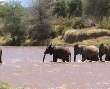 African elephant crossing a river. Stock Footage