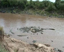 Wide shot of crocodiles feeding in the river Stock Footage