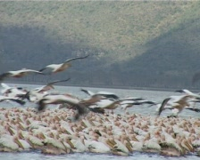 Pelicans fishing. Stock Footage