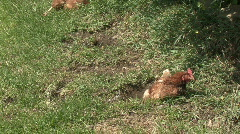 Chickens bask in sunshine Stock Footage