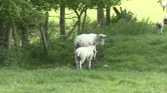 Ewe pushes her lamb away before urinating Stock Footage