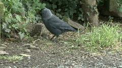 Jackdaw eating spilled birdseed - stock footage