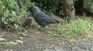 Stock Video Footage of Jackdaw eating spilled birdseed
