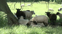 Lamb lies down in the shade of a tree Stock Footage
