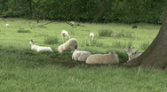 Stock Video Footage of Sheep rest in the shade of a tree and chew cud