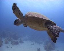 Hawksbill sea turtle feeding on soft coral - stock footage
