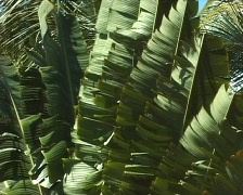 Banana trees in the wind Stock Footage