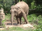 Stock Video Footage of Young Elephant Sprays Itself