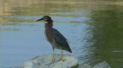 Green Heron Stock Footage