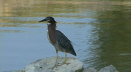 Stock Video Footage of Green Heron
