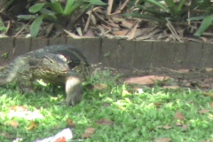 Monitor Lizard Enters The Water Stock Footage