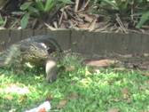 Stock Video Footage of Monitor Lizard Enters The Water