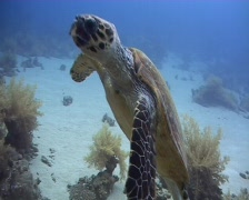 Hawksbill sea turtle feeding on soft coral Stock Footage