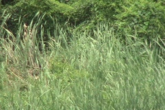 Tall Bushrushes In Breeze Stock Footage