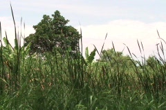 Tall Grass Blowing Stock Footage