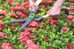 Trimming The Hedge With Clippers Stock Footage