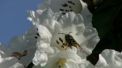 Wasp Taking Off Flower (HD 1080p30) Stock Footage