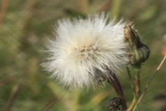 White Dandelion Against A Green Back Drop Stock Footage