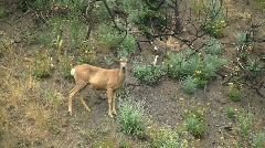 Deer On Side Of Canyon Stock Footage