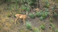 Stock Video Footage of Deer On Side Of Canyon