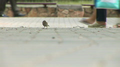 Sparrow in park skips on a path Stock Footage