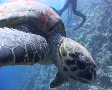 Hawksbill turtle biting lens Footage