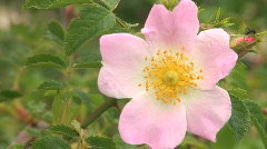 Dogrose in city park blossoms  Stock Footage