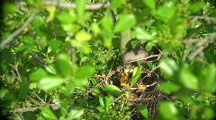 Mockingbird Big Bug Stock Footage
