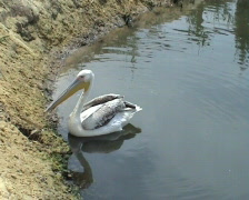 The pelican floats Stock Footage