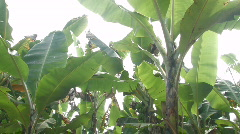 Banana trees 1 Stock Footage