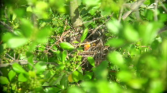 Mockingbird Hungry Chick Stock Footage