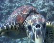 Hawksbill turtle biting camera Footage