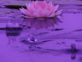 Lotus A Water Drops and Ripples 3 Loop Stock Footage
