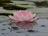 Lotus D Water Drops and Ripples 4 Loop Stock Footage