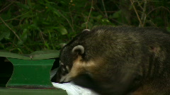 Hungry Coati - 2 clips Stock Footage