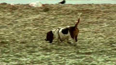 A Dog smelling in the beach Stock Footage