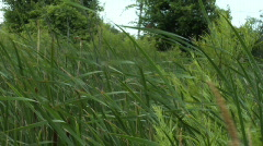 Cattails 2 - stock footage