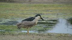 Black Crowned Night Heron Fishing Stock Footage
