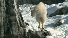 Mountain Goat 3 - stock footage