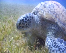 Green Turtle eating sea grass - underwater view Stock Footage