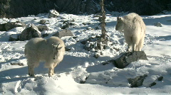 Mountain Goat 7 Stock Footage